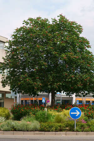 A red fruit-bearing ornamental tree on the traffic island of a roundabout with flowerbeds. Фото со стока