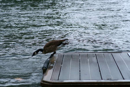 A Canada goose jumps from a dock into the water. Reklamní fotografie