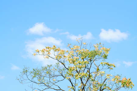 The crown and the treetop of a staghorn sumac tree in front of a blue sky. Reklamní fotografie