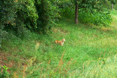 A red domestic cat in the green grass of a meadow.