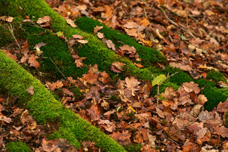 A forest floor with dry autumn leaves and moss-covered roots.