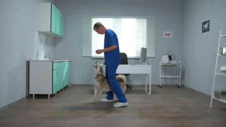 Veterinary doctor in uniform trains a husky with snacks in cabinet
