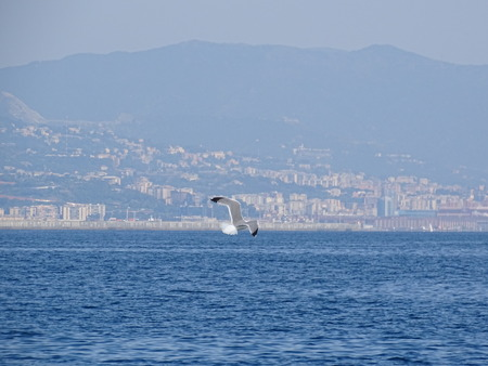 seagull in flight gliding on the sea in front of Genoa Stock Photo