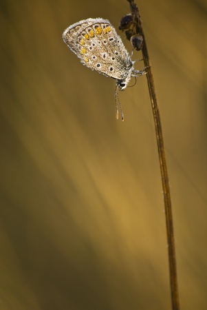 lycaenidae: Licenide  Lycaenidae  covered with dew drops Stock Photo
