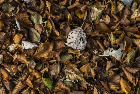 foglia: Fallen leaves in autumn