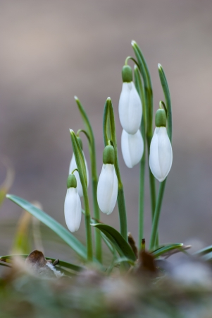 appear: The snowdrop  Galanthus nivalis  are the first flowers to appear in the woods Stock Photo