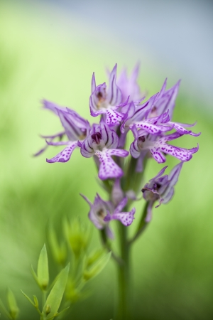 Wild Orchid  Neotinea tridentata photo