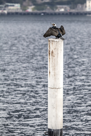 carbo: Cormorant  (Phalacrocorax carbo)