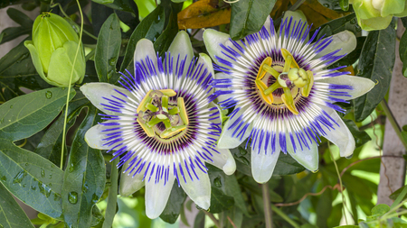 thriving: Close-up of Passion Flower Stock Photo