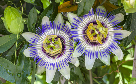 species of creeper: Close-up of Passion Flower Stock Photo