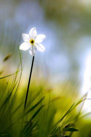Narcissus poeticus Banco de Imagens