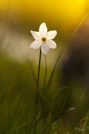 Narcissus poeticus Imagens