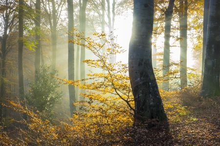 The morning sun illuminates the fog in a beech forest