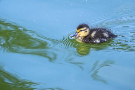 Kleine Ente , die im blauen Wasser des Sees schwimmt