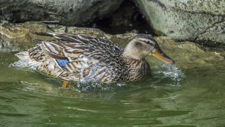 Weibchen der Ente (Anas platyrhynchos), das Gefieder glättet