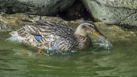 Female of duck (Anas platyrhynchos) that smooths plumage