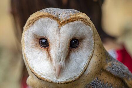 Portrait of barn owl with big dark eyes