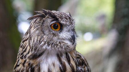 Portrait of eagle owl with big orange eyes Archivio Fotografico