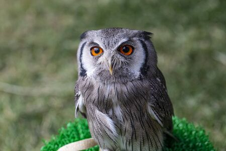 Large orange-eyed scops owl portrait Archivio Fotografico