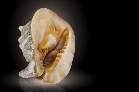 Big tropical sea shell cassis cornuta  isolated on a black background