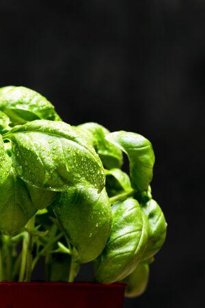 Green leafs of Genovese basil (Ocimum basilicum) culinary herb used for genoese pesto sauce. Italian cuisine concept