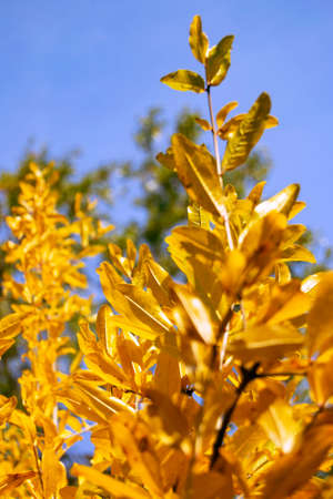 soft focus of golden pomegranates leaves in autums with blue sky as background