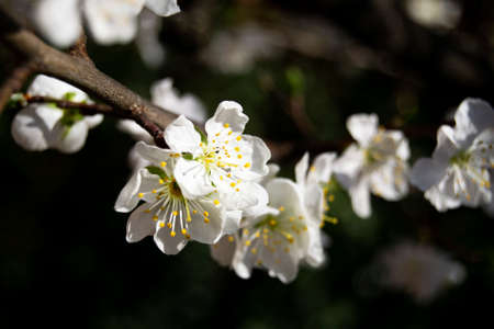 soft image of prunus flowers on a blurry background. nature, spring season, april, tranquility concepts