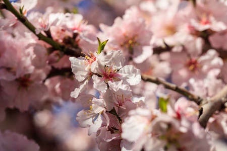Spring Blooming. Almond or cherry tree blooming, blur background, close up view with details