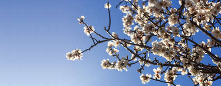 Spring Blooming. Almond or cherry tree blooming on blue sky background, close up view with details, space for text Stock Photo