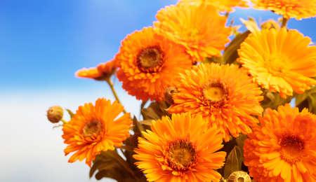 Calendula, pot marigold bouquet closeup, blue sky background, space for text