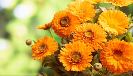 Calendula, pot marigold bouquet closeup, blur nature background, space for text