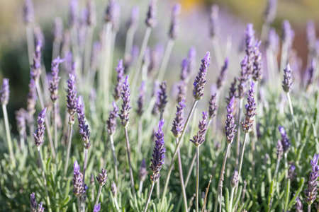 Lavender flowers, Closeup view of a lavender field blooming in spring, Greece Banco de Imagens