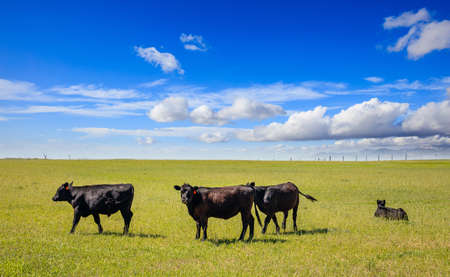 Black angus cattles in the countryside. Cows grazing in a pasture, green field, clear blue sky in a sunny spring day, Texas, USA.
