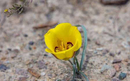 Gelbe Blume, Arizona USA. Canyon de Chelly. Wüstengelbe Farbe Blume auf trockenem Land Standard-Bild