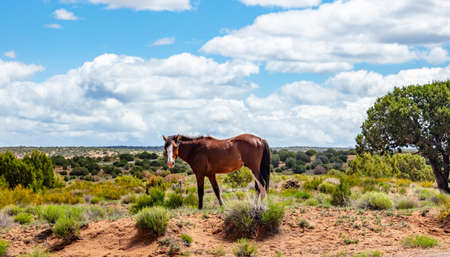 Wild horse in a desert landscape Arizona, US of America. Canyon de Chelly area in a sunny spring day, blue sky with clouds.