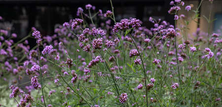 Purple verbena or purpletop vervain blossoms, wild flowers field in spring, background texture