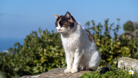 A lonely stray cat is sitting on a rock next to daisies flowers. The kitty has white body and colorful head is taking sunbath. Blur nature and blue sky background. Zdjęcie Seryjne