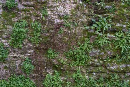 Moss on stone wall background. Green plants and moss cover a stone wall. Wallpaper, nature background. Zdjęcie Seryjne