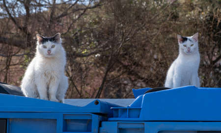 Two white stray cats are sitting on blue garbage cans in front of dry tree branches. The kitties are looking straight to the camera. Blur nature background.