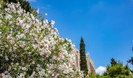 Under view of blur Parthenon, rock of Acropolis, Athens, Greece. White oleander and fir trees surround the ancient monument. Greek blue sky background. Copy space. 写真素材