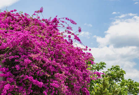 Pink purple bougainvillea spectabilis blooming. Thorny wild tropical vine plant with green leaves. Bush, trees, flowers in springtime. Cloudy blue sky background