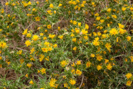 Scolymus hispanicus, the common yellow golden thistle or Spanish oyster thistle background, texture. Wild thorny perennial plant with culinary and medicinal uses. 免版税图像
