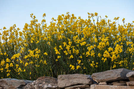 Spartium junceum, the Spanish broom, rush or weaver broom. Wild toxic and poisonous ornamental plant used as flavoring, for essential oil and dye 免版税图像 - 150367897