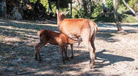 Wild red deer feeding, Cervus elaphus doe deer nursing a fawn at Parnitha forest mountain, Greece. Mother is feeding her baby with milk, nature background,