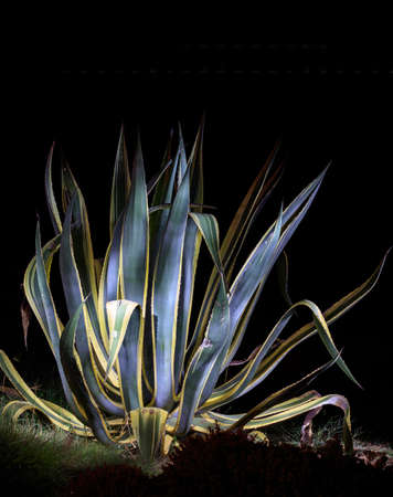 Agave plant illuminated by a torch. Whole succulent plant in the night, black background, copy space, vertical