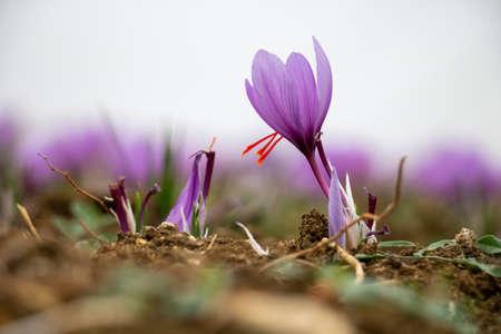 Saffron flowers in the field. Crocus sativus, commonly known as saffron crocus, delicate violet petals plant on ground, closeup view