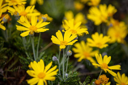 Daisies wild flowers yellow color field, closeup view, full background