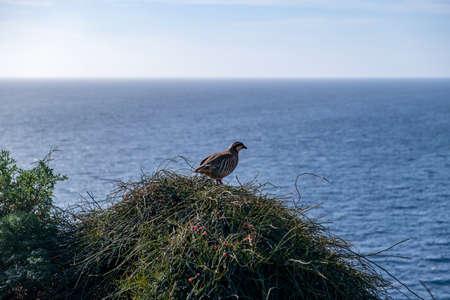 Partridge in nature. Wild red legged partridge in natural habitat. Game bird on a bush, blue sea and sky background, cape Sounio area Attica Greece