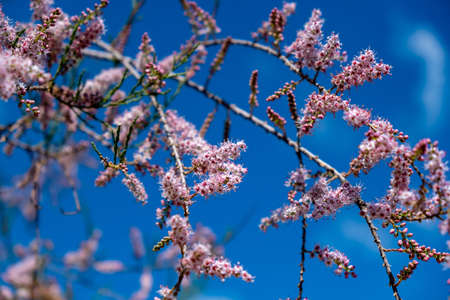 Tamarisk, evergreen deciduous plant, pink flowers, blooming, grow on saline soils. Sunny day, blue sky  background. Tamarix also known as salt cedar blossoming branches closeup view.