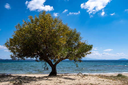 Greek island sandy beach with shade from a yellow blooming tree at seaside sunny day. Summer destination Greece. Where clear blue sky meets blue calm sea